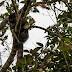 За пръв път заснеха рядка маймуна, която не е срещана в дивата природа от 80 години