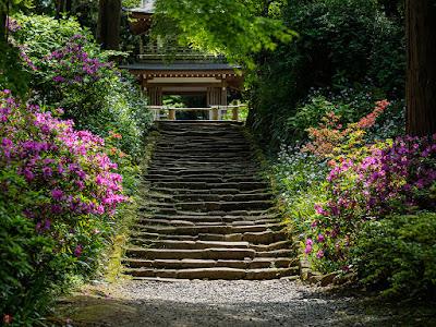 Tsutsuji (Rhododendron) flowers: Jochi-ji