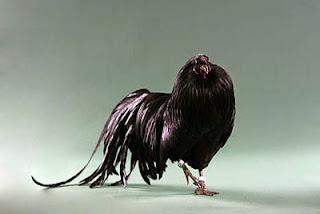 Ternak Ayam Black Sumatera