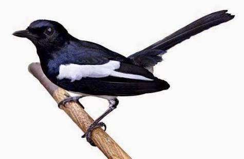 Tips Jitu Agar Burung Kecer Kita Bisa Juara Ketika Dilombakan