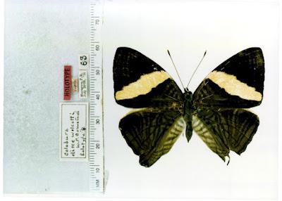 Mariposa cebra (Colobura dirce)