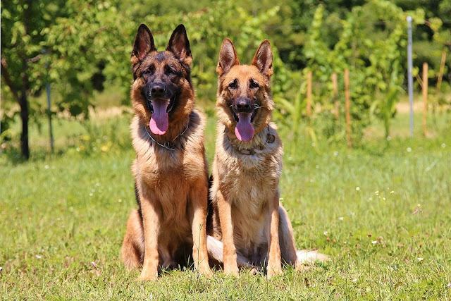 How to care for a German shepherd dog  - RictasBlog
