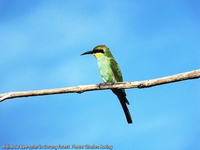 Burung pemakan madu pelangi Rainbow Bee-eater (Merops ornatus)