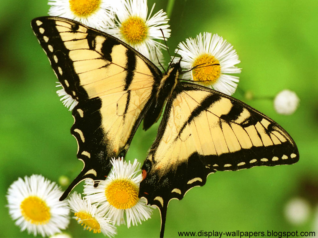 Butterflies Wallpapers Hd Download: Butterfly Desktop Wallpaper HD