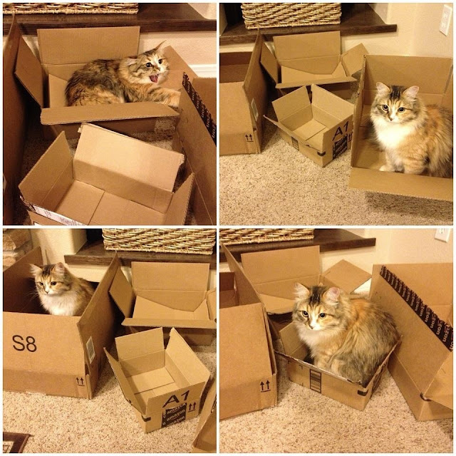 funny cats, cute cat pictures, cat with boxes