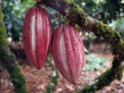 Maturazione Frutti Theobroma cacao