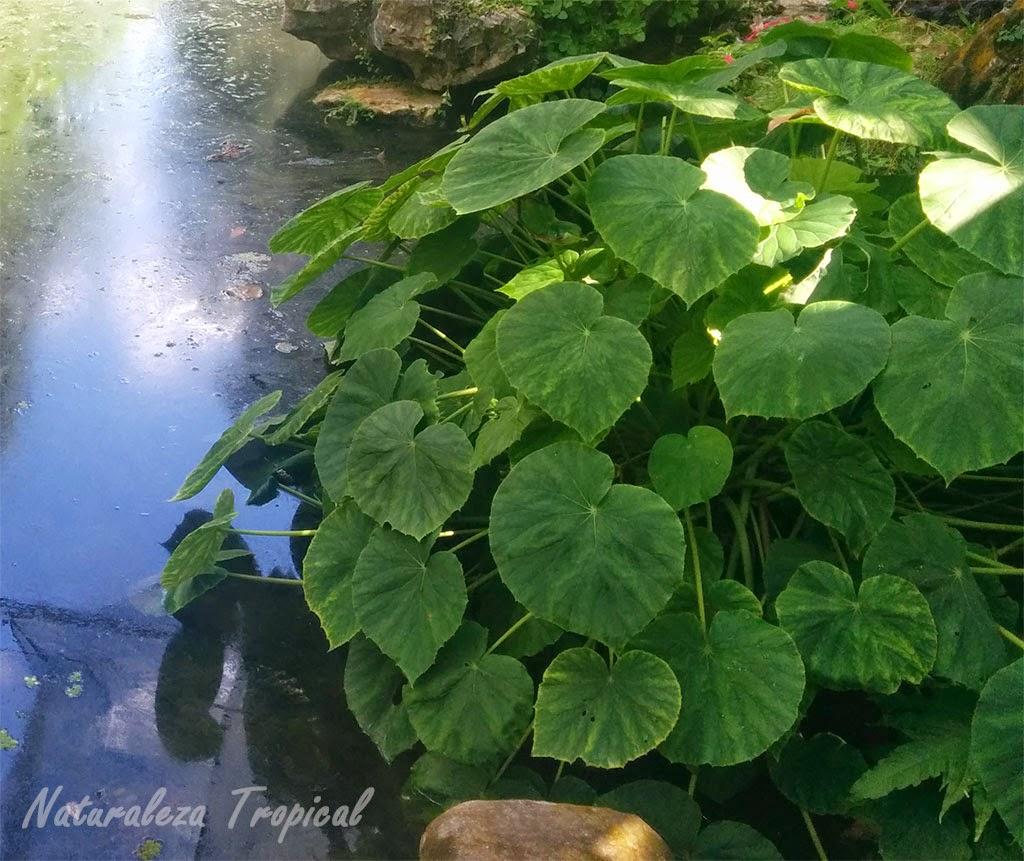 Una especie de planta begonia exponiendo la belleza de sus hojas, género Begonia