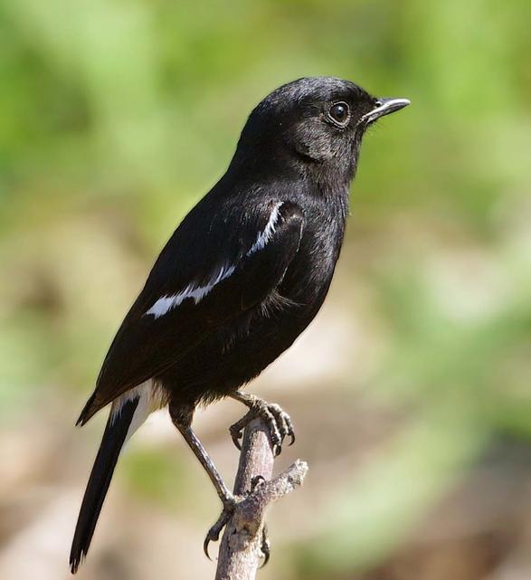 gambar burung yang langka dan keterangan singkat seni budaya