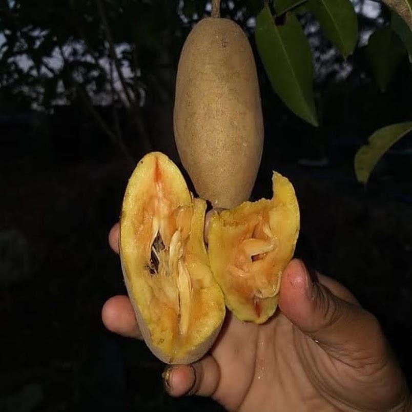 bibit sawo mentimun Kalimantan Selatan