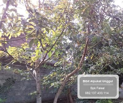Pohon Alpukat Unggul 082.137.433.114