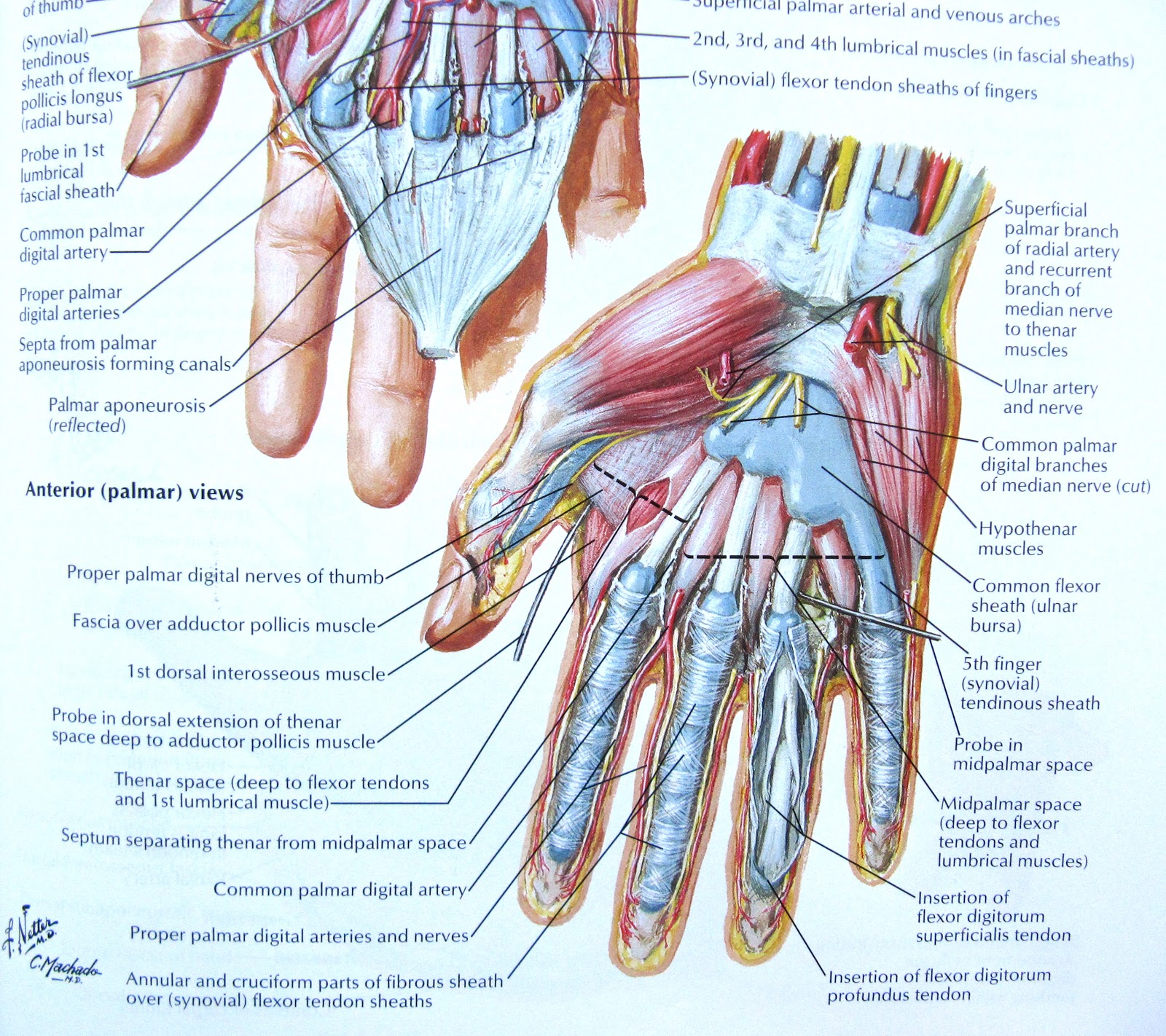 Muscle Diagram Anterior Hand Building Electrical Wiring Diagrams Positive Time