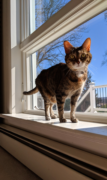 image of Sophie the Torbie Cat standing on a low window sill, with a blue sky behind her, shot from a low angle