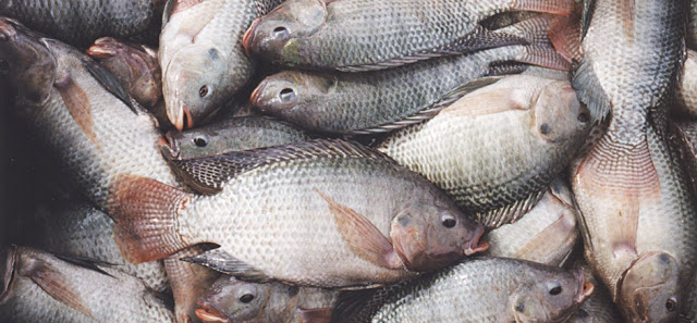 MUST READ: After Reading This, You'll Probably Stop Eating Tilapia Immediately!