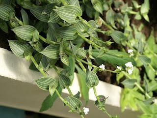 Callisia gentlei - Callisia elegans - Callisie