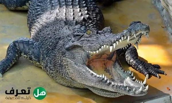 كم عدد اسنان التمساح