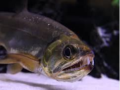 ikan vampir payara armatus