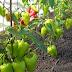 Десять правил гарного врожаю перцю