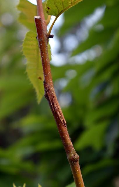 chestnut graft