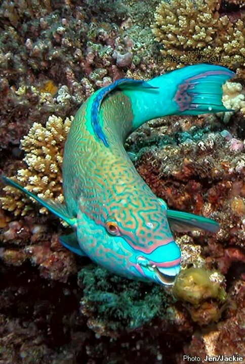 Parrot fish Great Barrier Reef Queensland, Australia