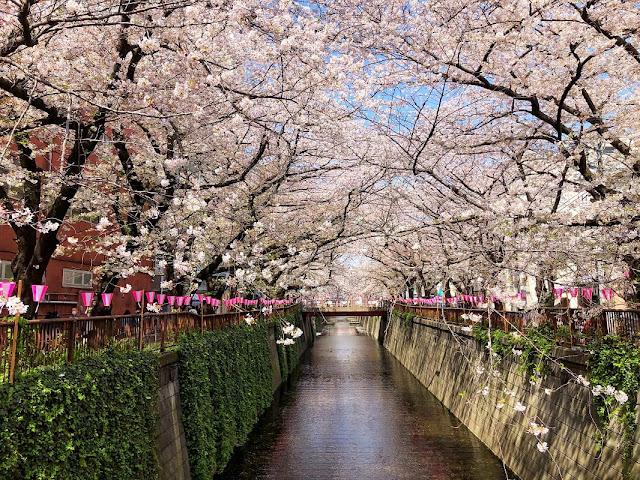 flor cerejeira japao