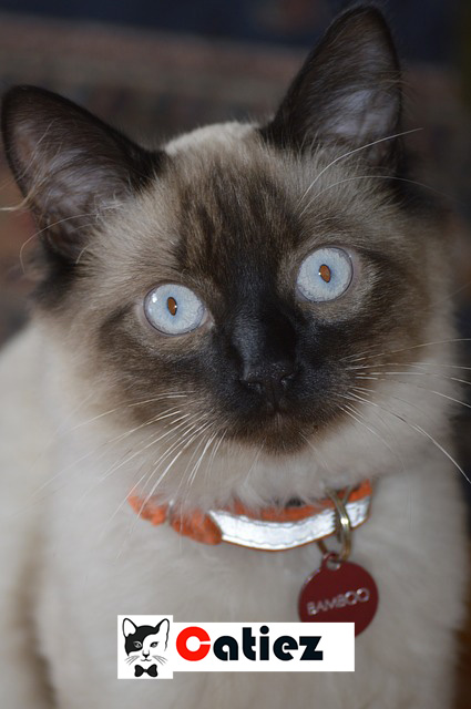 Balinese cat - all you want to know about  Balinese cats