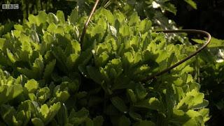 Edible Garden Broad Beans