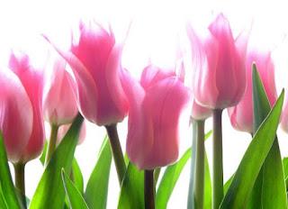 Gambar Bunga Tulip Cantik 3