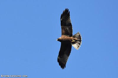 Àguila calçada de morfo fosc (Hieraaetus pennatus)