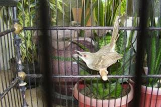 Kabar burung kali ini membahas mengenai  Burung Prenjak Pagar Semakin Diminati Kicaumania