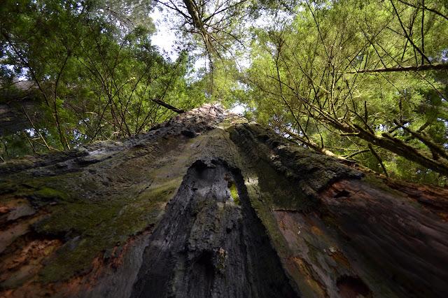 dead double tree