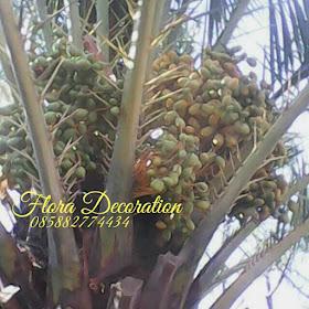 kami menjual pohon palm kurma dengan harga yang terjangkau, pohonpalm korma yang kami jual memiliki kualitas yang bagus namun dengan harga yang terjangkau