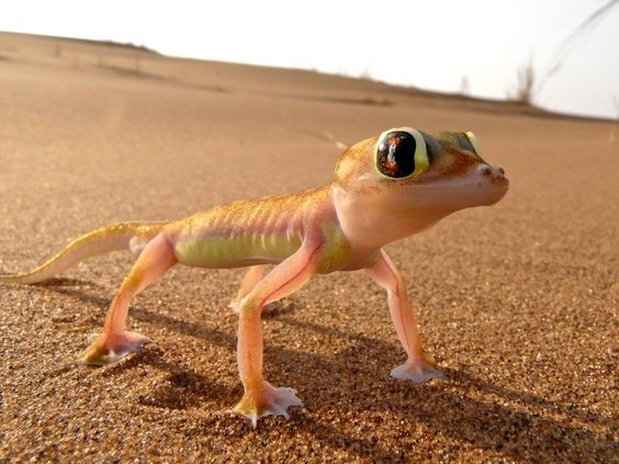 The adorable Namibian desert gecko