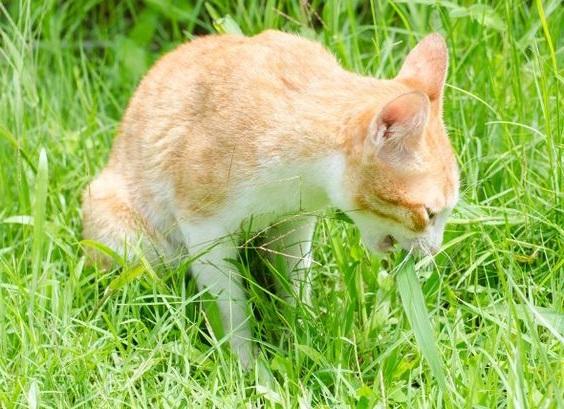 cara mengatasi kucing muntah