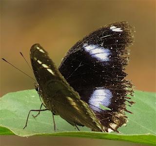 Hypolimnas bolina, Great Eggfly
