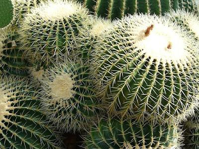 Como cuidar o Cacto bola - Echinocactus grusonii