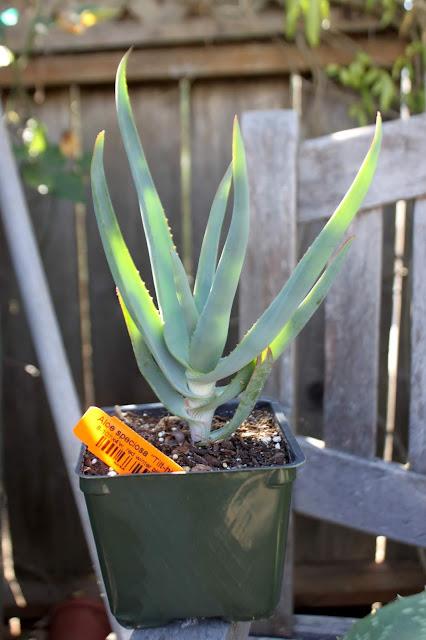 """Aloe speciosa in 4"""" pot"""