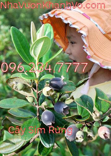 Đăng tin rao vặt: Những công dụng tuyệt vời mà Sim Rừng mà bạn nên biết Cay-sim-rung-khanh-vo-4