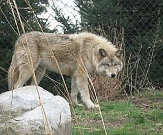 Lobo gris en el monte