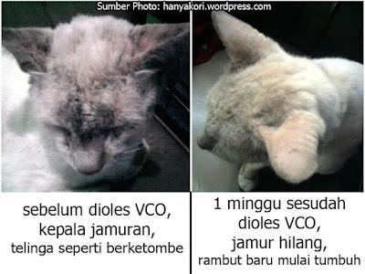 Vco Solusi Alami Atasi Kucing Jamuran Google Coconut