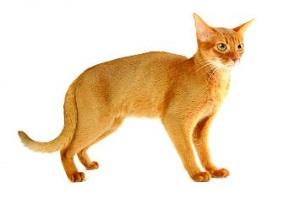 Habeş Kedisi Özellikleri ve Bakımı Nasıldır ?