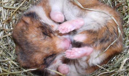 Wajib Paham! Inilah 5 Penyebab Hamster Mati Saat Dipelihara