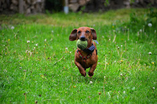 Dachshunds dog