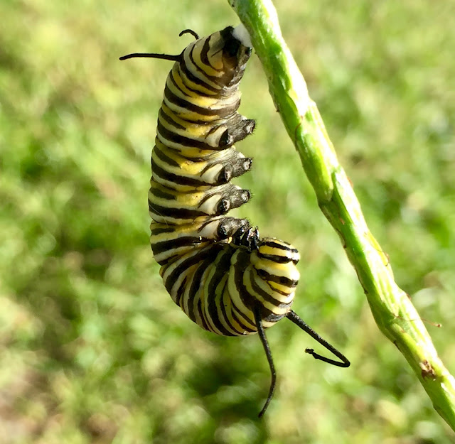 Monarch caterpillar in J formation