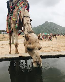 Pushkar camel race