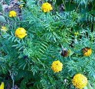 Manfaat tanaman Tahi Kotok