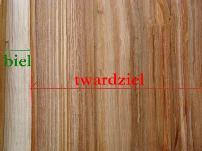 W drewnie gatunków twardzielowych często widać zabarwioną twardziel