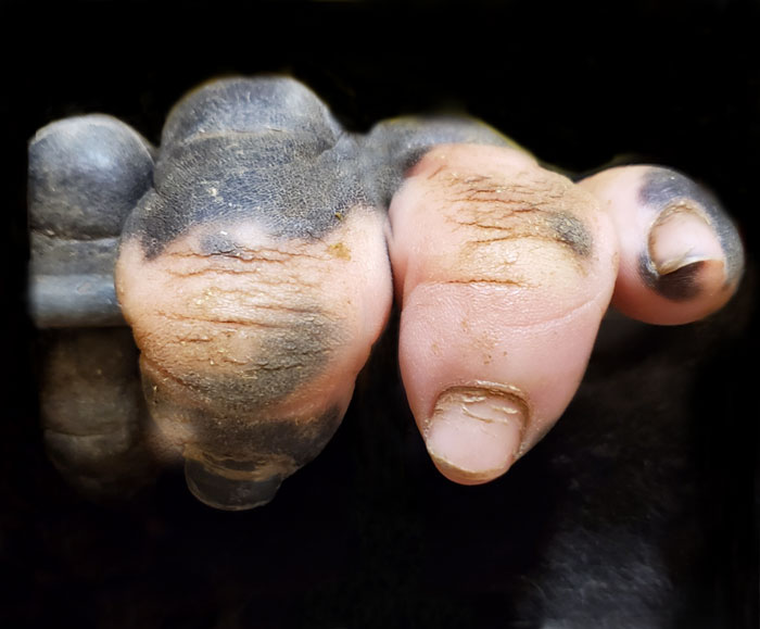 Gorilla Born With A Lack Of Pigmentation On Her Fingers Surprises People