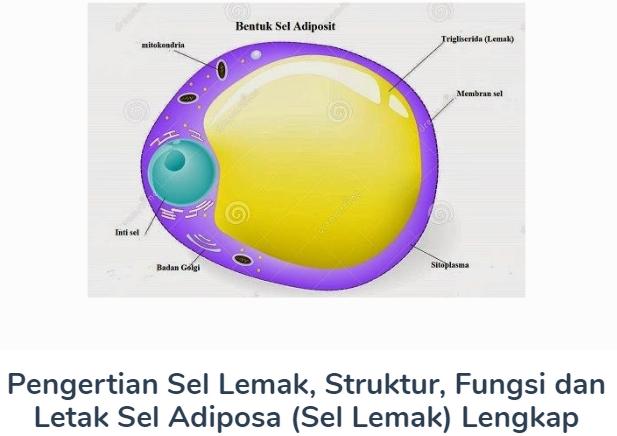 Sel Lemak : Pengertian Beserta Struktur, Fungsi Dan Letak Sel Adiposa (Sel Lemak) Terlengkap Disini