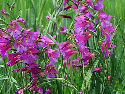 Flores de color rosa de Gladiolus illyricus