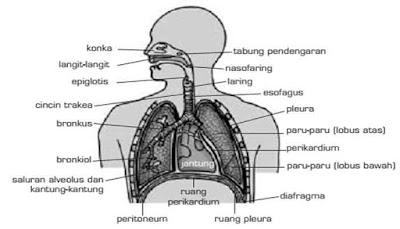11 Fakta Mengejutkan Wacana Sistem Pernafasan